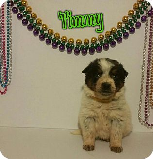 Rottweiler/Border Collie Mix Puppy for adoption in Oxford, Connecticut - Timmy