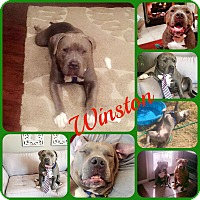Adopt A Pet :: Winston - Ft Worth, TX