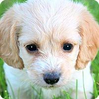 Adopt A Pet :: DUDLEY(PETIT BASSET GRIFFON) - Wakefield, RI