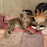 Adopt A Pet :: Champ - CH KITTEN - Fayetteville, GA