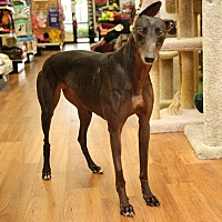 Greyhound Dog for adoption in Brandon, Florida - Maya