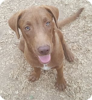 Labrador Retriever Mix Dog for adoption in Boston, Massachusetts - Cowboy