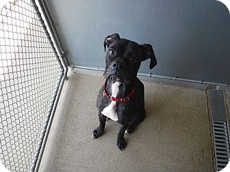 Boxer Mix Dog for adoption in Sandusky, Ohio - CLARABELL