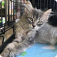 Adopt A Pet :: Tiny - Ortonville, MI