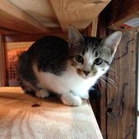 Domestic Shorthair/Domestic Shorthair Mix Cat for adoption in Schertz, Texas - Cupcake MB