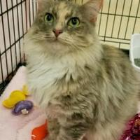 Domestic Mediumhair/Domestic Shorthair Mix Cat for adoption in Beaumont, Texas - Mila