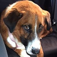 Adopt A Pet :: Baxter - Billerica, MA