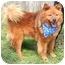 Photo 2 - Chow Chow Mix Dog for adoption in Cincinnati, Ohio - Marley