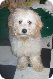 Coton de Tulear/Cocker Spaniel Mix Puppy for adoption in Rossford, Ohio - ELMO