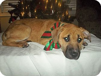 Boxer Mix Puppy for adoption in Parsippany, New Jersey - Vixen