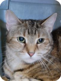 Domestic Shorthair Cat for adoption in Brooklyn, New York - Minouche