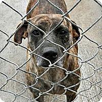 Adopt A Pet :: Rockie - McKinney, TX