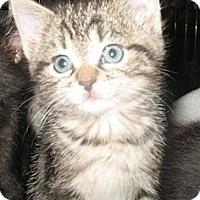 Adopt A Pet :: Massie - Acme, PA