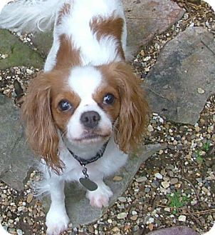 Cavalier King Charles Spaniel Dog for adoption in Westport, Connecticut - Anna