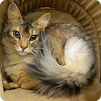 Adopt A Pet :: Kerfuffle - The Colony, TX
