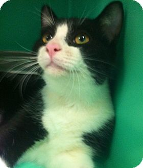 Domestic Shorthair Cat for adoption in Port Hope, Ontario - Victor