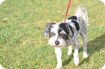 Terrier (Unknown Type, Small)/Shih Tzu Mix Dog for adoption in Tumwater, Washington - Chicago Joe