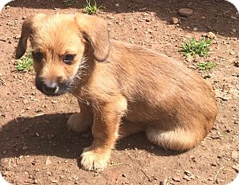 Dachshund/Pug Mix Puppy for adoption in Smyrna, Georgia - Dieago