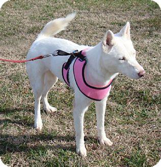 Husky Mix Dog for adoption in Decatur, Georgia - Snow White