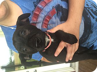 Labrador Retriever Mix Puppy for adoption in Lewisville, Indiana - Zoomed