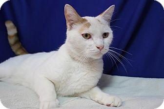 Domestic Shorthair Cat for adoption in Midland, Michigan - Cheeseburger - STRAY