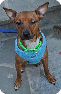 Miniature Pinscher/Basenji Mix Dog for adoption in Atlanta, Georgia - Emerald