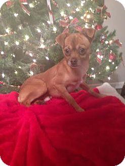 Chihuahua Mix Dog for adoption in Berea, Kentucky - Hansel