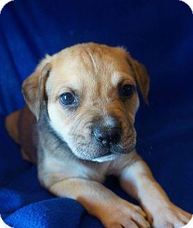 Labrador Retriever Mix Puppy for adoption in Joshua, Texas - Luke Skywalker