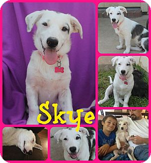 Shih Tzu/Catahoula Leopard Dog Mix Puppy for adoption in Ft Worth, Texas - SKYE