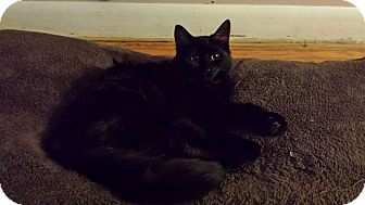 Domestic Longhair Kitten for adoption in Hamilton, Ontario - Bella