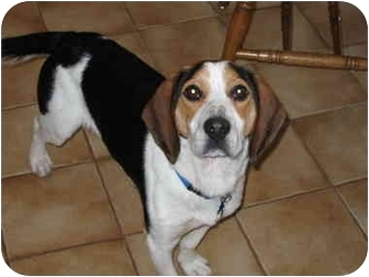Beagle Mix Dog for adoption in Blairstown, New Jersey - Nick