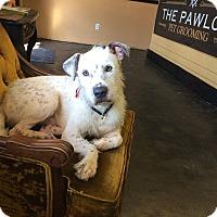 Wirehaired Fox Terrier/Pointer Mix Dog for adoption in Bonaire, Georgia - Einstein
