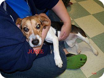 Beagle Dog for adoption in Ventnor City, New Jersey - JOSIE