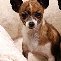Adopt A Pet :: Mochi - SAN PEDRO, CA