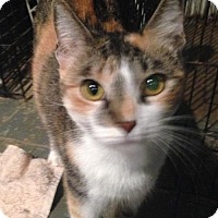 Domestic Shorthair Cat for adoption in Cypress, Texas - Brielle