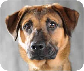German Shepherd Dog/Labrador Retriever Mix Dog for adoption in Chicago, Illinois - Lester(ADOPTED!)