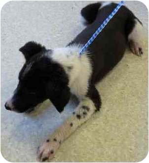Blue Heeler/Border Collie Mix Puppy for adoption in Jerome, Idaho - Name Unknown
