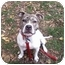 Photo 1 - American Pit Bull Terrier Dog for adoption in Vernon Hills, Illinois - Chips