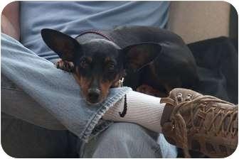 Miniature Pinscher/Manchester Terrier Mix Dog for adoption in Oak Ridge, New Jersey - Chelsea