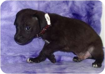 Labrador Retriever/Retriever (Unknown Type) Mix Puppy for adoption in Broomfield, Colorado - Scout
