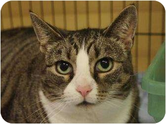 Domestic Shorthair Cat for adoption in Ocean City, New Jersey - Sneakers