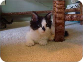 Domestic Mediumhair Kitten for adoption in Cincinnati, Ohio - Thyme
