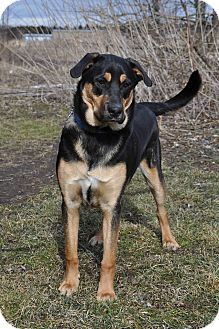 German Shepherd Dog/Rottweiler Mix Dog for adoption in Saint Albans, Vermont - Bruin