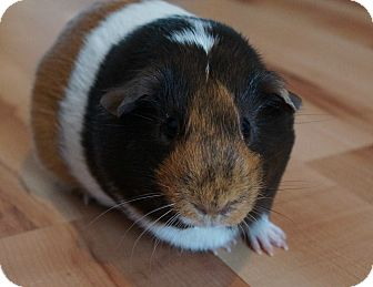 Guinea Pig for adoption in Brooklyn Park, Minnesota - Livi