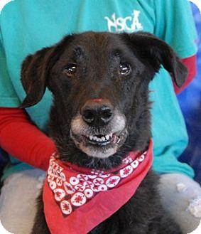 Labrador Retriever Mix Dog for adoption in Las Vegas, Nevada - Iggy Pop
