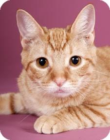 Domestic Shorthair Kitten for adoption in Chicago, Illinois - Plantain