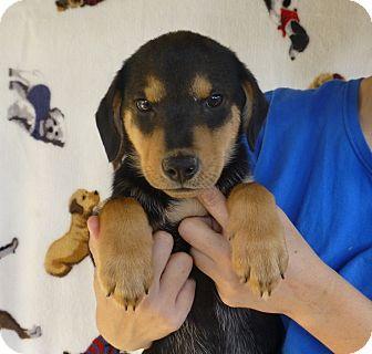 German Shepherd Dog Mix Puppy for adoption in Oviedo, Florida - Carl