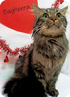 Maine Coon Cat for adoption in Arlington/Ft Worth, Texas - Bagheera
