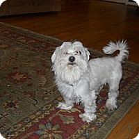 Adopt A Pet :: Hops - Charlotte, NC