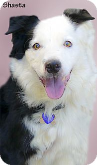 Australian Shepherd/Border Collie Mix Dog for adoption in Sacramento, California - Shasta looking for a Mommie
